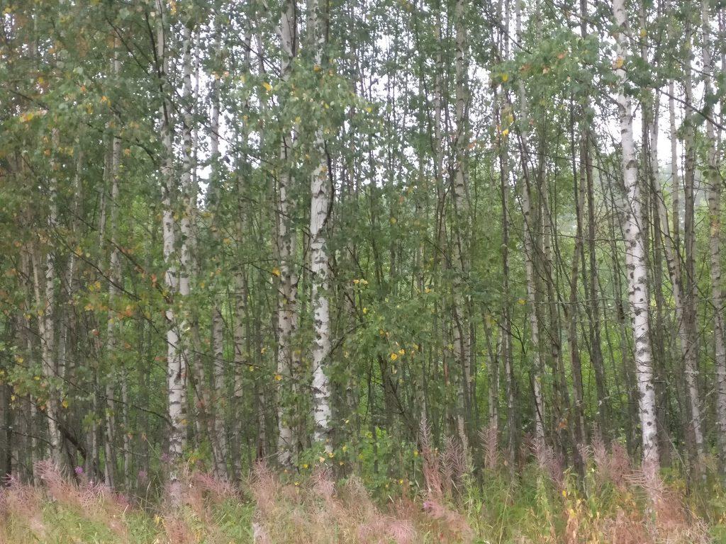 Metsän tunnelma syntyy puustosta ja muusta kasvillisuudesta.