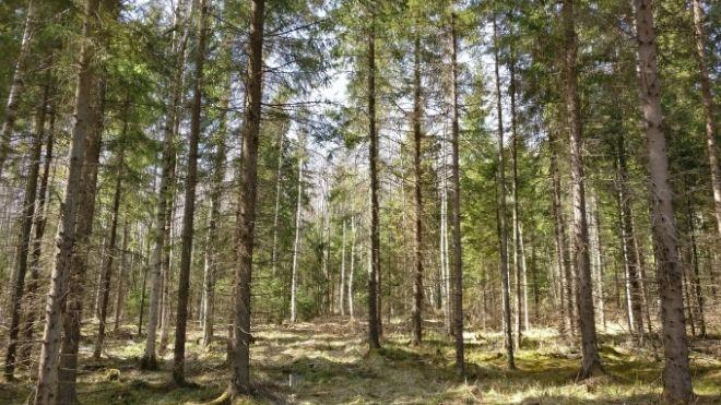 Osaanko hoitaa metsää?
