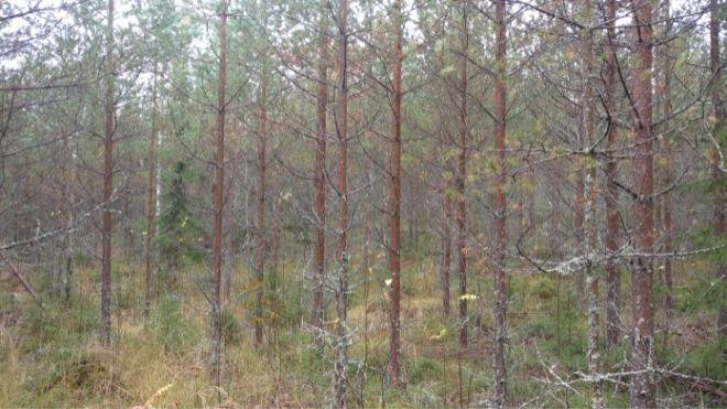 Myytävää puuta saa hoidetusta metsästä.
