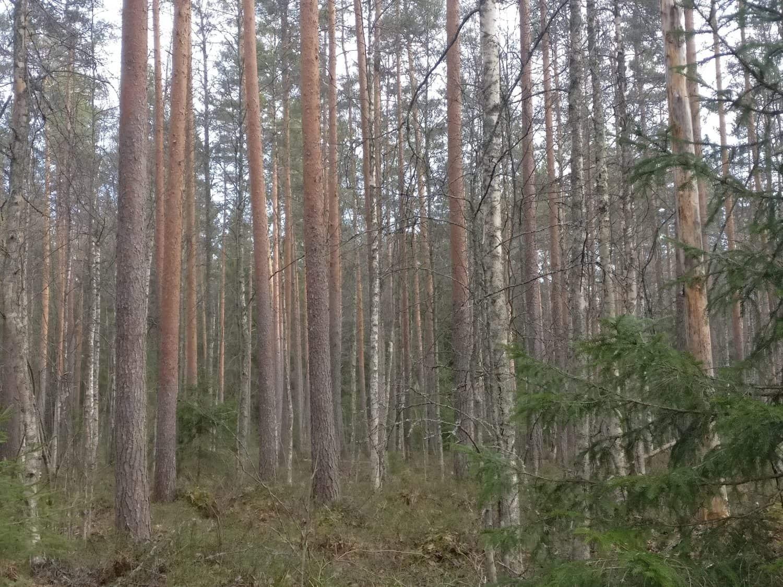 Metsää ei kannata ostaa käymättä metsässä.