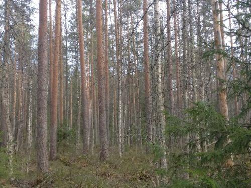 Onko tässä myytävää puuta?