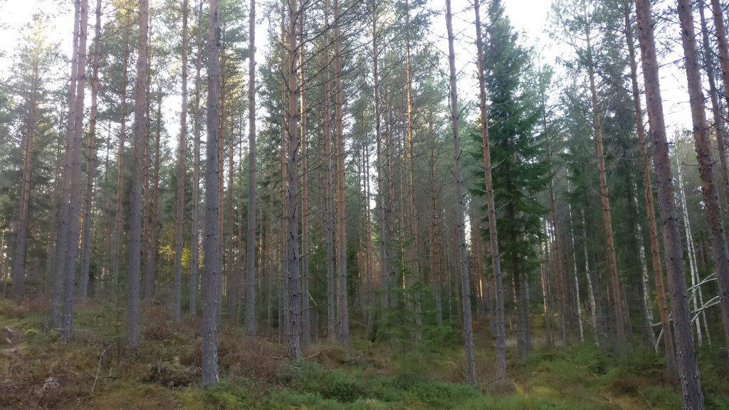 metsänomistaja miettii metsäasioita