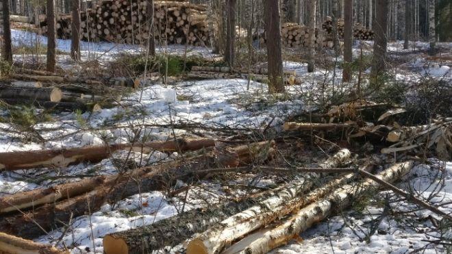 Kaadettuja koivuja odottamassa kuljetusta metsästä.