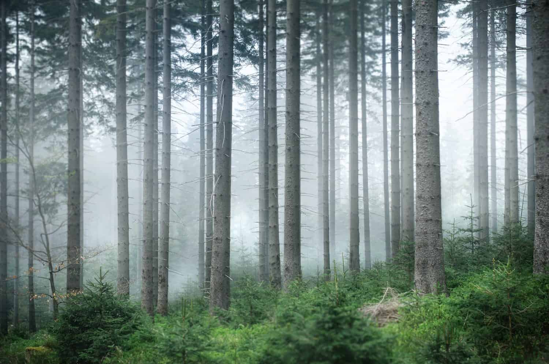 tasaikäisrakenteinen metsä sumussa